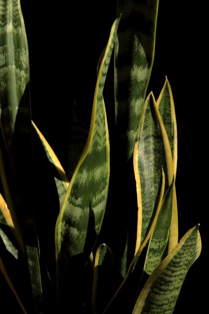 Sansevieria trifasciata una de las plantas para purificar el aire