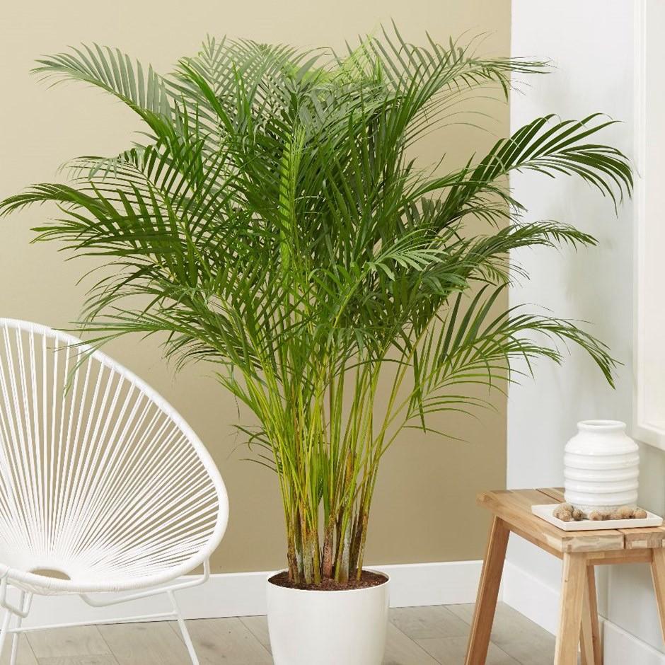 areca palm una de las plantas para purificar el aire