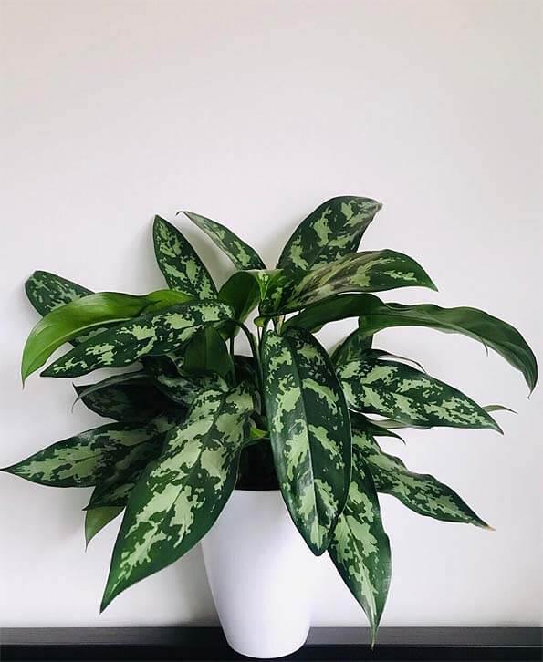 la aglaonema es una de las plantas para limpiar el aire