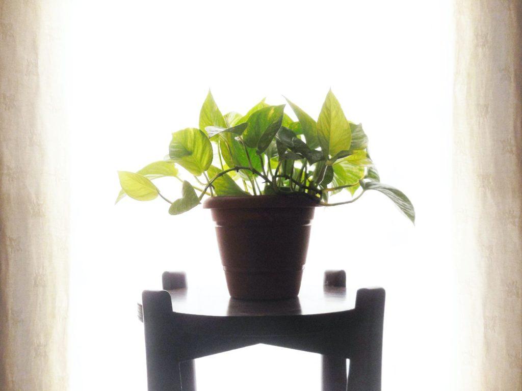 el poto es una de las plantas para limpiar el aire