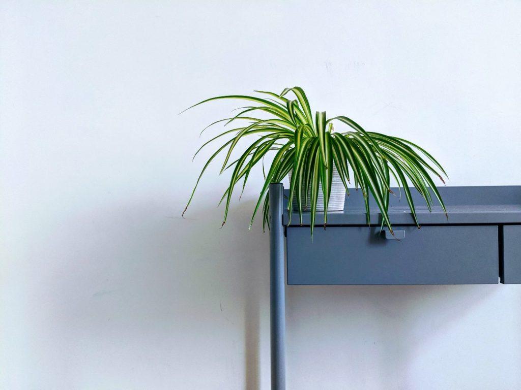 la cinta es una de las plantas que limpia el aire