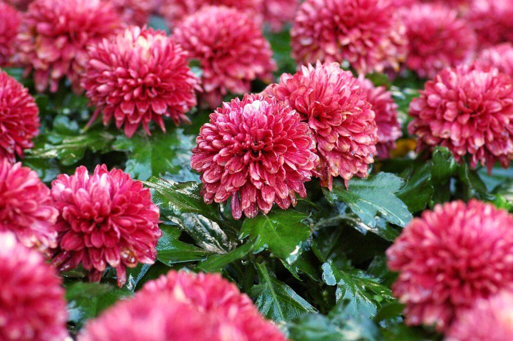 los crisantemos son una de las plantas que limpian el aire